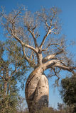Baobab Amoureux, två förälskade baobabs, Madagascar Royaltyfri Foto