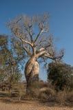 Baobab Amoureux, twee baobabs in liefde, Madagascar Stock Afbeeldingen