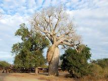 Baobab Amoureux - Two Adansonia trees twisted together, Madagascar Stock Image