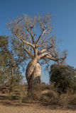 Baobab Amoureux, two baobabs in love, Madagascar Stock Images