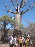 Baobab at the Andohahela National Park Stock Photos