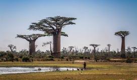Baobabs, Morondava, Menabe Region, Madagascar. A baobab is any of nine species of deciduous tree in the genus Adansonia, found in arid regions of Madagascar stock image