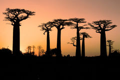 Baobab au coucher du soleil Image stock