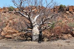 Baobab in Australia Stock Images