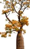 Baobab australiano - Boab Fotografie Stock