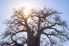 Baobab avec l'étoile du soleil dans le contre-jour, la savane africaine avec le ciel bleu clair au lever de soleil Le Botswana, u Photo stock