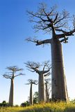 Baobab avenue Royalty Free Stock Images