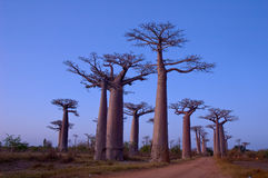 Baobab Avenue. After sunset. Grandidier's Baobab (Adansonia grandidieri). Morondava, Madagascar royalty free stock photography