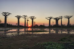 Baobab avenue, menabe Royalty Free Stock Photo