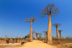 Baobab avenue village Stock Photos