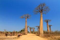 Baobab avenue village Stock Photos