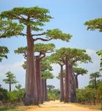 Baobab Stock Photography