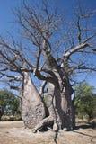 Baobab-Baum (Adansonia digitata) Stockfotos