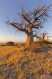 Baobab-Baum im Winter Stockfotografie