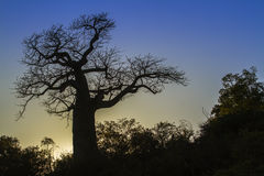 Baobab-Baum in Nationalpark Kruger, Südafrika Stockfoto