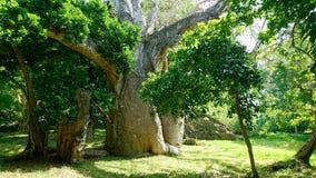 Baobab on the beach in Kanya. Baobab tree in ruins on Mtwapa Mombasa Kenya Stock Photo