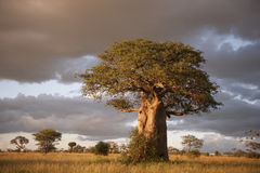Baobab Royalty Free Stock Photography
