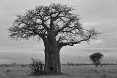 Baobab. Or boab, boaboa, bottle tree, upside-down tree, and monkey bread tree Tarangire National Park is the sixth largest national park in Tanzania after Ruaha Royalty Free Stock Photo