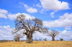 Baobab Royalty Free Stock Photography