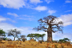 Baobab. Or boab, boaboa, bottle tree, upside-down tree, and monkey bread tree Tarangire National Park is the sixth largest national park in Tanzania after Ruaha Royalty Free Stock Photos