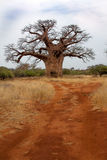 Baobab in Bushveld. Huge Baobab in South Africa seen whilst on Safari, There was also lots of wildlife and beautiful rock formations. This tree is like the tree Stock Images