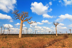 Baobab cloudscape Royalty Free Stock Images