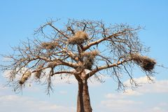 Baobab crown with big nests Royalty Free Stock Photo