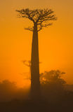 Baobab at dawn. Madagascar. Royalty Free Stock Photo