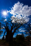 Baobab de Baines Nxai Pan National Park - du Botswana Photos stock