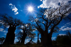 Baobab de Baines Nxai Pan National Park - du Botswana Photos libres de droits