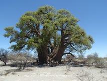 Baobab de Chapmans Foto de archivo