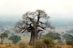 Baobab in de mist Royalty-vrije Stock Afbeeldingen