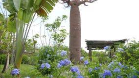 Baobab in de tuin van Afrika stock videobeelden