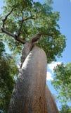 Baobab del amante en Morondava, Madagascar fotografía de archivo libre de regalías