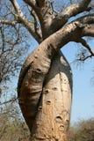 Baobab del amor, Madagascar foto de archivo libre de regalías