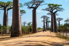 Baobab del DES di Allee vicino a Morondava fotografia stock libera da diritti