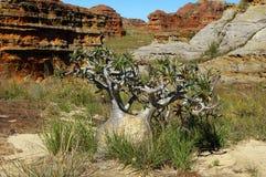 Baobab do anão. Fotografia de Stock