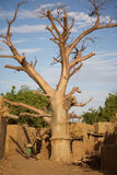 Baobab in the Dogon Land Royalty Free Stock Photo