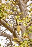 Baobab drzewnej owoc boa Vista przylądek Verde obrazy royalty free