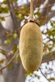 Baobab drzewnej owoc przylądek Verde zdjęcie royalty free
