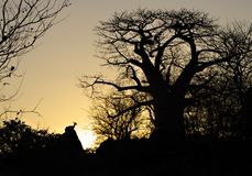 Baobab en klipspringer Royalty-vrije Stock Foto