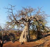 Baobab en la cascada de Epupa Fotografía de archivo libre de regalías
