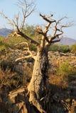 Baobab en la cascada de Epupa Foto de archivo libre de regalías