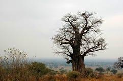 Baobab en mist Stock Afbeelding