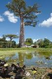 Baobab en Morondava, Madagascar imagen de archivo