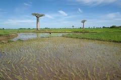Baobab en Morondava, Madagascar fotos de archivo