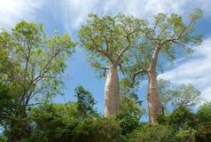 Baobab en Morondava, Madagascar fotos de archivo libres de regalías