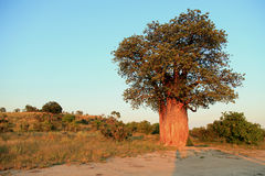 Baobab. In the evening light Royalty Free Stock Photography