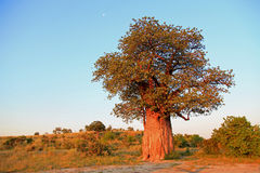 Baobab. In the evening light Royalty Free Stock Photo