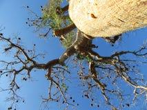 Baobab, floresta espinhoso, Ifaty, Madagáscar fotos de stock